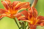 American lilies — Stock Photo