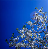 Blossoms against clear blue sky. — Stock Photo