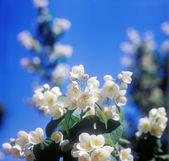 Jasmine against blue sky. — Stock Photo