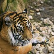 Stock Photo: SumatrTiger / Panthertigris sumatra