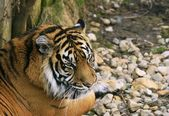 Sumatra Tiger / Panthera tigris sumatra — Stock Photo