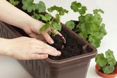 Replanting of Geranium seedlings — Stock Photo