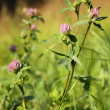 Red clover /Trifolium pratense/ — Stock Photo