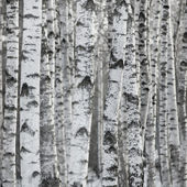 Birch Tree Forest Large Background — Stock Photo