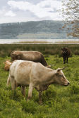 Cows in the field — Stock Photo