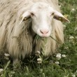 Sheep staring at camera — Stock Photo #3207236