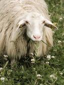 Sheep staring at the camera — Stock Photo