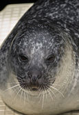 Sealion — Stockfoto
