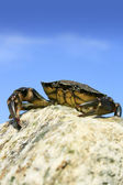 King of the Crabs — Stock fotografie