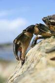 Crabs Claw — Stock Photo