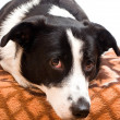 Border collie in front — Stock Photo