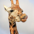 Portrait of a young giraffe - Stock Photo
