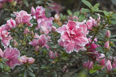 Pink azalea flower. — Stock Photo