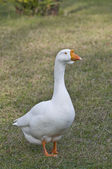 White goose. — Stock Photo