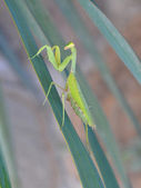Green mantis. — Stock Photo