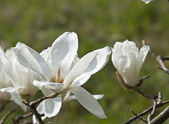 White magnolia flower. — Stock Photo