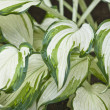 Stock Photo: Variegated Hostleaves.