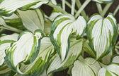 Variegated Hosta leaves. — Stock Photo