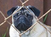 Pug. — Stock Photo