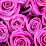 Roses — Stock Photo #2801754