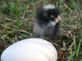 Little black chicken near white egg — Stock Photo