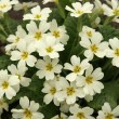 Primrose in the spring — Stock Photo