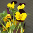 Yellow purple pansy - Stock Photo