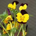 Yellow purple pansy — Stock Photo #2837379