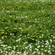 Grass meadow with dandelions — Stock Photo