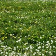 Grass meadow with dandelions — Stock Photo #2837838