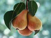 Pears on the bough — Stock Photo