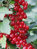 Cranberry bush — Stockfoto