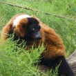 Stock Photo: A Red Ruffed Lemur, Varecia Rubra