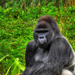 Male Silverback Gorilla — Stock Photo #2882641