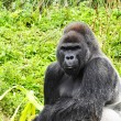 Close up of Male Silverback Gorilla — Stock Photo #2882644