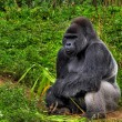 Male silver back gorilla — Stock Photo #2882661