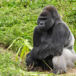 An Adult Silverback Male Gorilla — Stock Photo