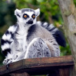 A Ring Tailed Lemur, Lemur Catta — Stock Photo #2882687