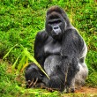 Male Silverback Gorilla - Stock Photo