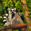 Stock Photo: Ring Tailed Lemur, Lemur Catta