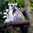 A Ring Tailed Lemur, Lemur Catta — Stock Photo #2882698