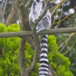 A Ring Tailed Lemur, Lemur Catta — Stock Photo #2882711