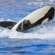 A killer whale rolling on its back — Stock Photo