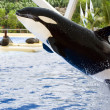 Stock Photo: Killer whale, Orcinus Orca,