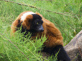 A Red Ruffed Lemur, Varecia Rubra — Stock Photo