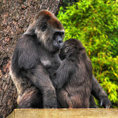 Mutter und baby gorilla — Stockfoto