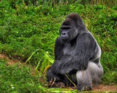 Male silver back gorilla — Stock Photo