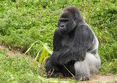 An Adult Silverback Male Gorilla — Stock Photo
