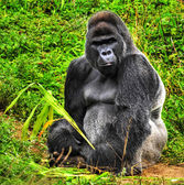 Male Silverback Gorilla — Stock Photo