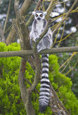 A Ring Tailed Lemur, Lemur Catta — Stock Photo
